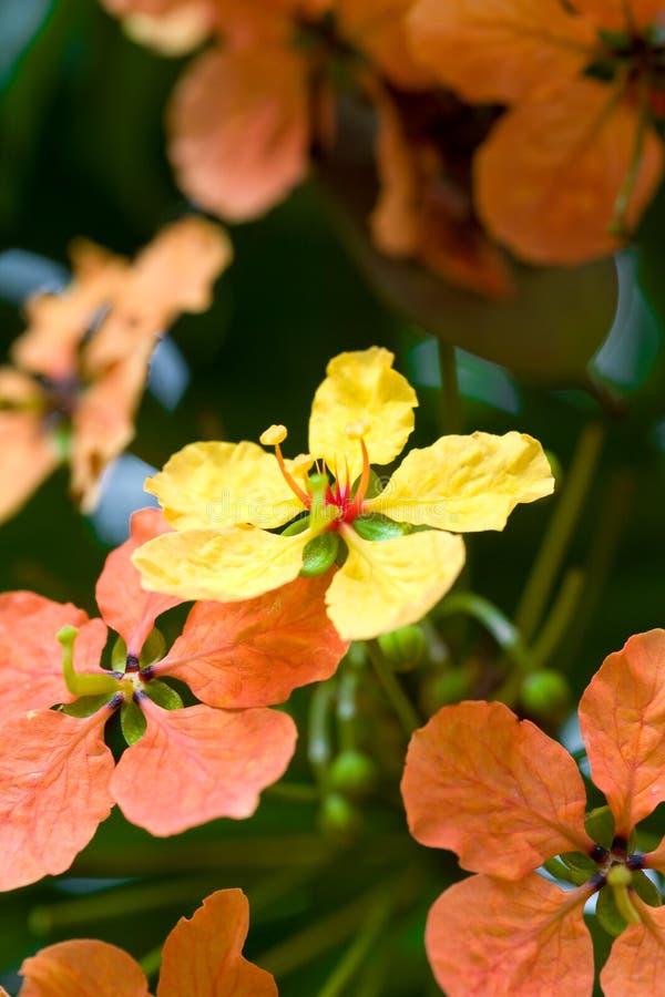 Flores amarillas y anaranjadas imagen de archivo libre de regalías