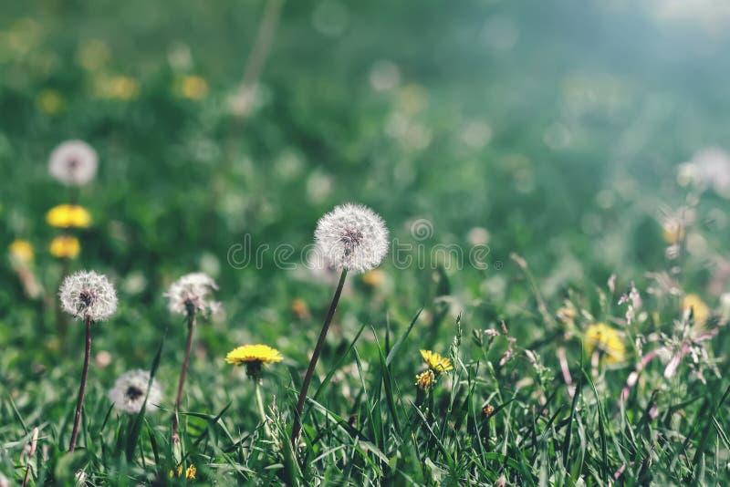 Flores amarillas y blancas de los dientes de león en la hierba, foco selectivo, prado natural de la primavera fotos de archivo libres de regalías
