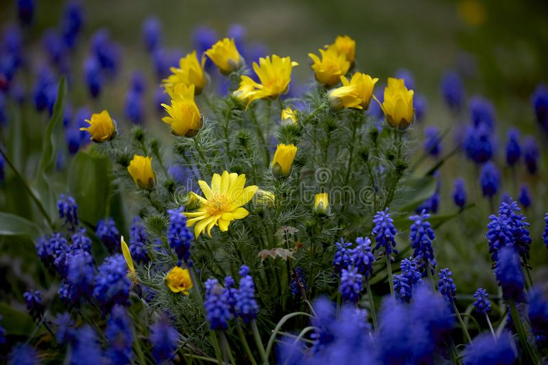 Flores amarillas y p?rpuras de la primavera foto de archivo libre de regalías