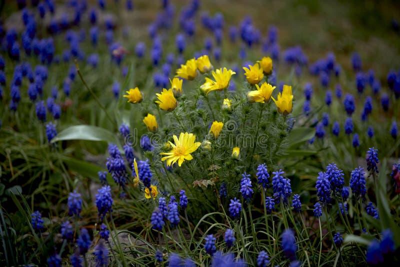 Flores amarillas y p?rpuras de la primavera imagen de archivo libre de regalías