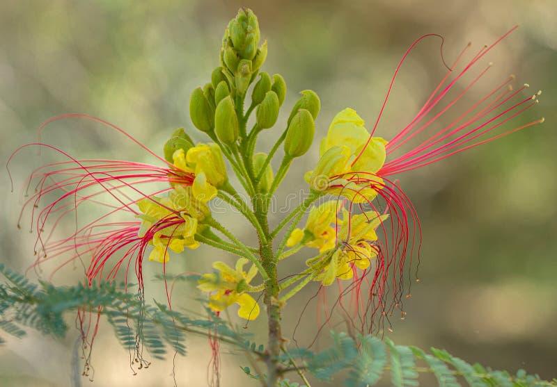 Flores amarillas y rojas de Poinciana del desierto de Arizona foto de archivo libre de regalías