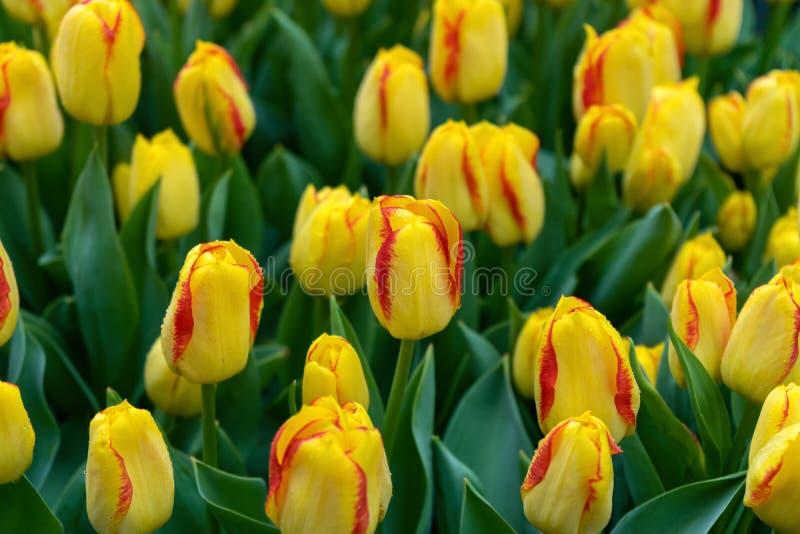 Flores amarillas y rosadas hermosas del tulipán en jardín de la primavera foto de archivo libre de regalías