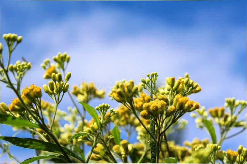 Flores amarillas y un cielo azul imagen de archivo