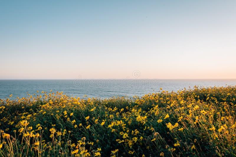 Flores amarillas y vista del Océano Pacífico en Dana Point Headlands Conservation Area, en Dana Point, Condado de Orange, Califor imágenes de archivo libres de regalías
