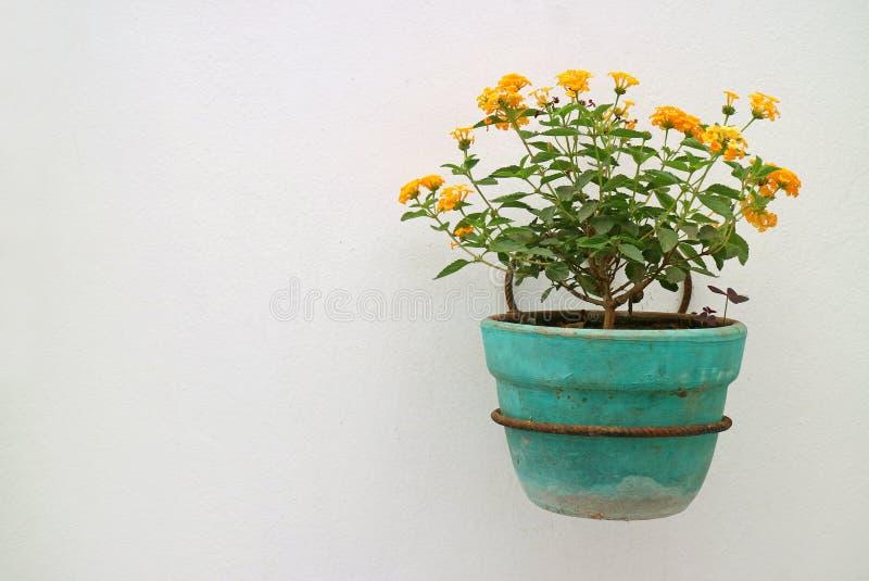 Flores amarillo-naranja del Lantana en la ejecución del plantador de la turquesa en la pared blanca fotos de archivo
