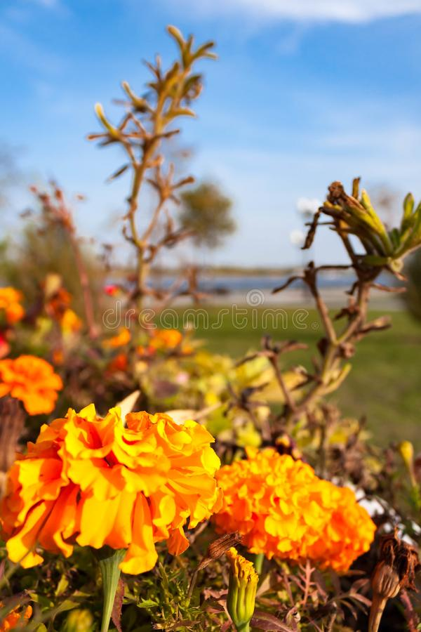 Flores amarillo-naranja florecientes de las maravillas en una cama de flor en el fondo del río y del cielo azul foto de archivo