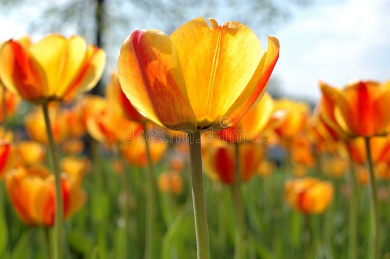 flores Amarillo-rojas del tulipán. imagen de archivo libre de regalías