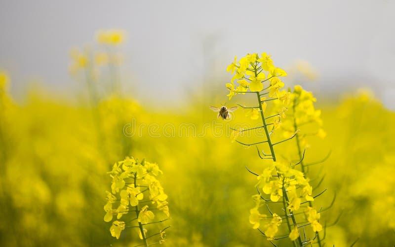 Flores & abelha do Cole fotografia de stock royalty free