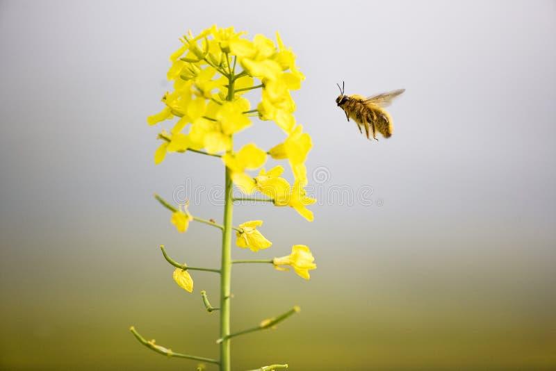 Flores & abelha do Cole foto de stock