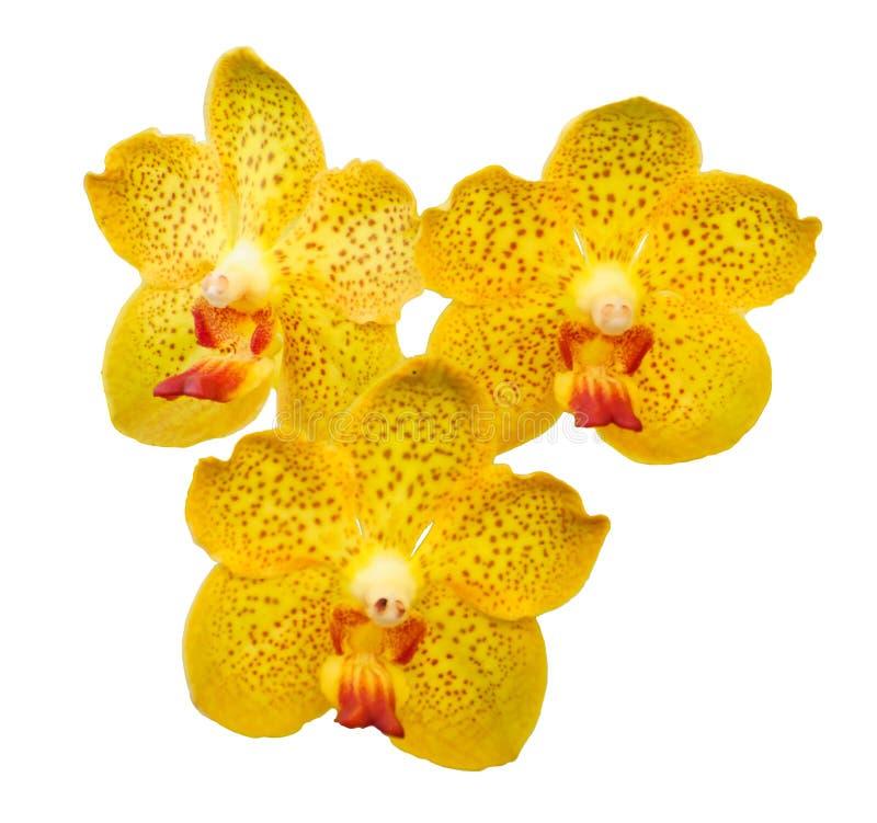 Flores anaranjadas aisladas de la orquídea - Vanda fotos de archivo