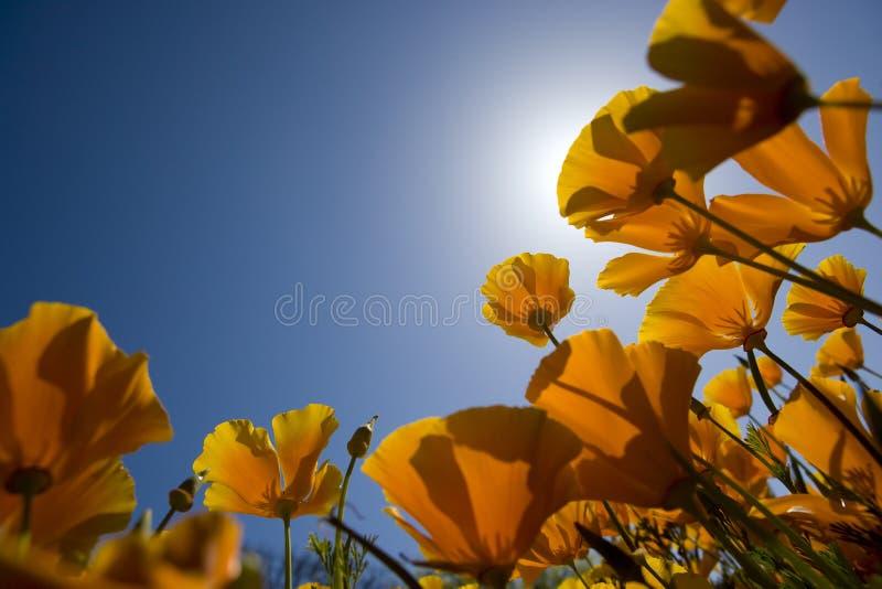 Flores anaranjadas con el cielo azul en resorte fotografía de archivo libre de regalías