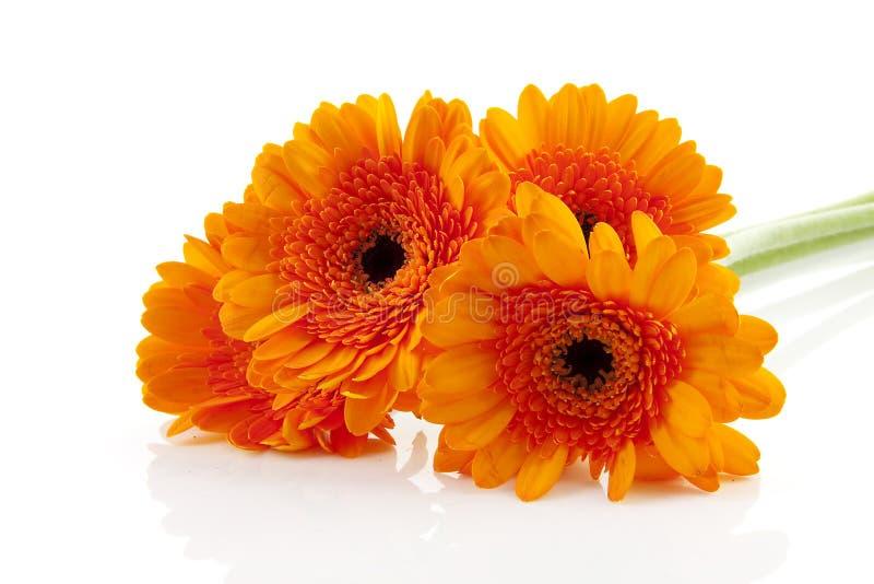 Flores anaranjadas de Gerber fotos de archivo libres de regalías