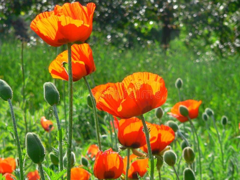 Flores anaranjadas de la amapola imagen de archivo libre de regalías