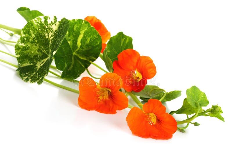 Flores anaranjadas de la capuchina imagen de archivo