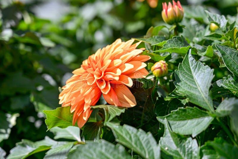 Flores anaranjadas de la dalia en una casa verde en Suecia imagen de archivo libre de regalías