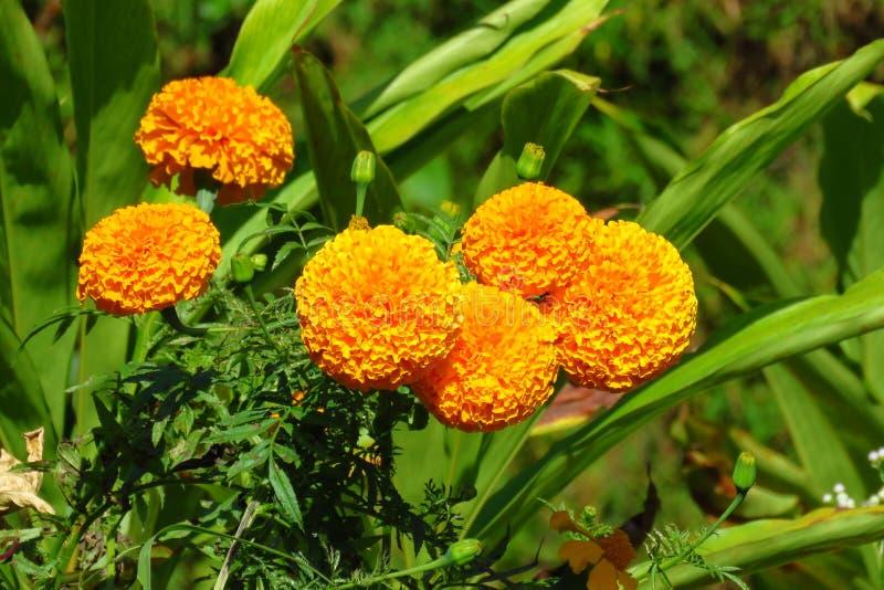 Flores anaranjadas de la maravilla que florecen en el campo, Nepal imagen de archivo