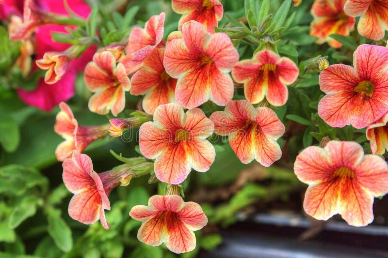 Flores anaranjadas de la petunia imagen de archivo