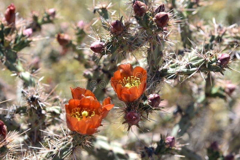 Flores anaranjadas de un cactus del cholla fotografía de archivo libre de regalías