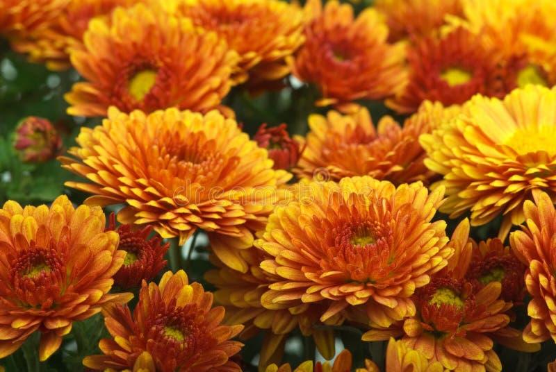 Flores anaranjadas del crisantemo imágenes de archivo libres de regalías