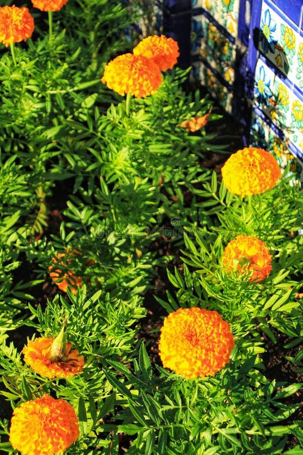 Flores anaranjadas del crisantemo imagenes de archivo