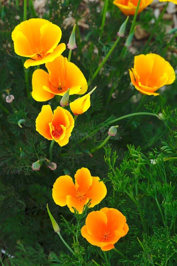 Flores anaranjadas del escholtzia imagen de archivo libre de regalías