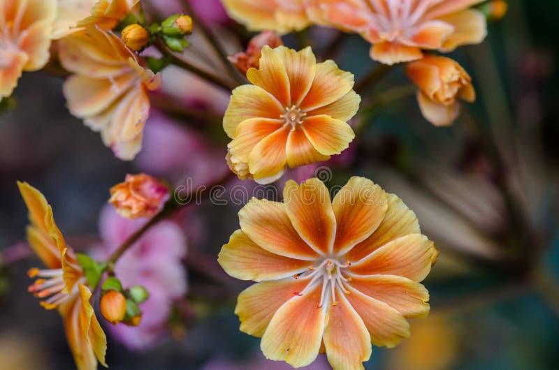 Flores anaranjadas en el jardín imagen de archivo
