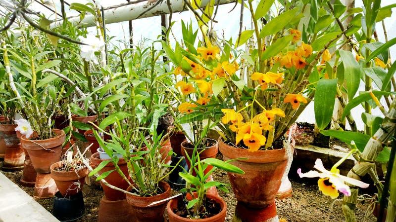 Flores anaranjadas florecientes hermosas de la orquídea foto de archivo