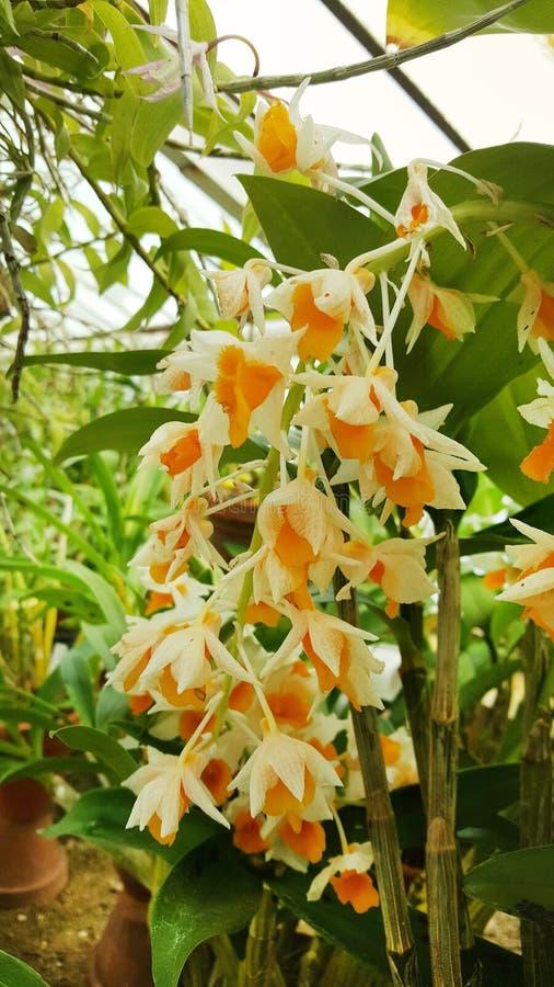 Flores anaranjadas florecientes hermosas de la orquídea foto de archivo libre de regalías