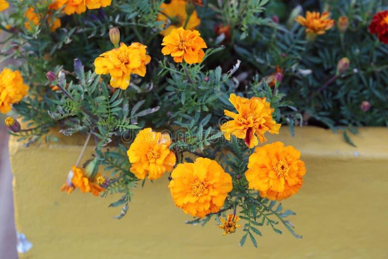 Flores anaranjadas florecientes múltiples de la maravilla fotos de archivo libres de regalías