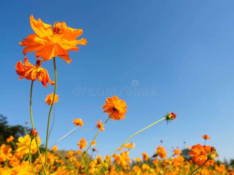 Flores anaranjadas grandes múltiples en el cielo claro imágenes de archivo libres de regalías