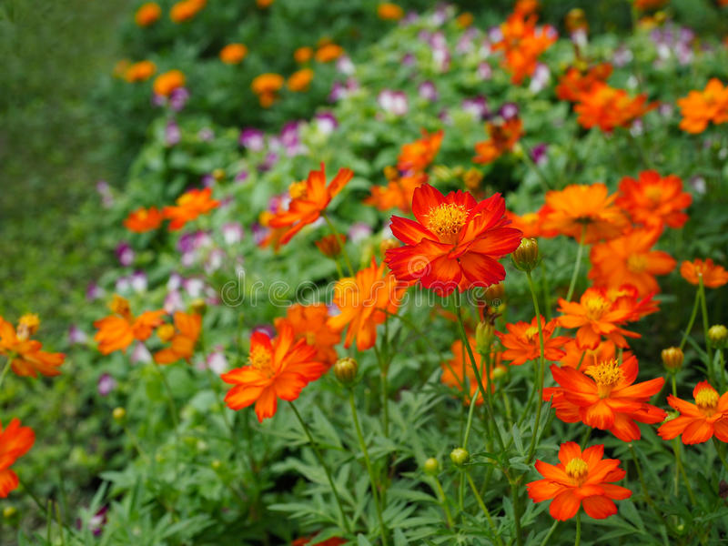 Flores anaranjadas hermosas del cosmos foto de archivo libre de regalías