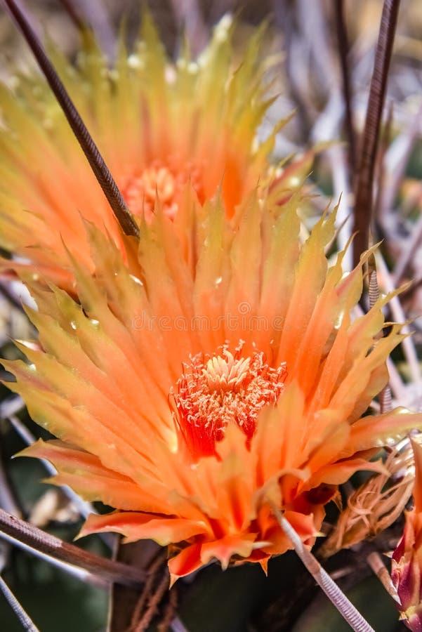 Flores anaranjadas hermosas en el cactus, California fotografía de archivo libre de regalías