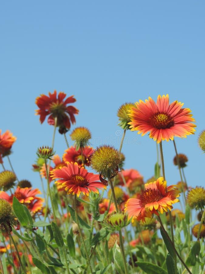 Flores anaranjadas y amarillas contra un cielo azul fotos de archivo libres de regalías