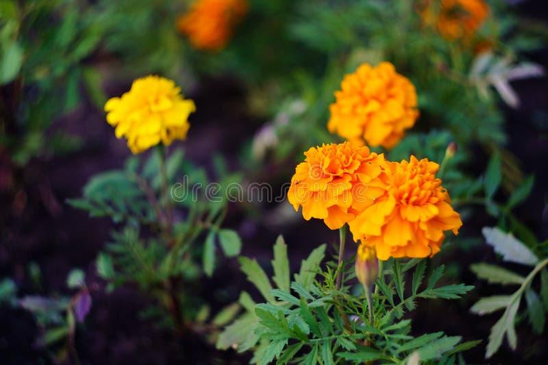 Flores anaranjadas y amarillas de la maravilla en el jardín Patula de Tagetes Foco suave imagen de archivo
