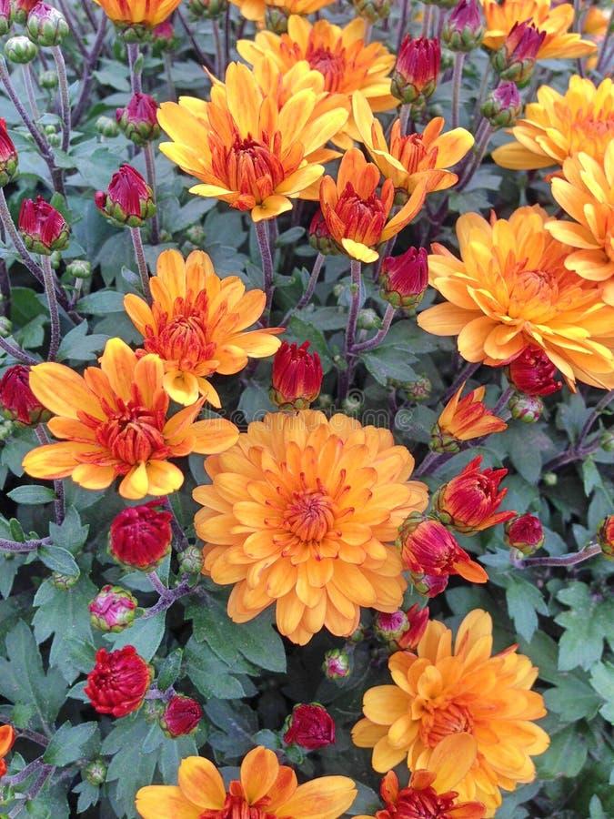 Flores anaranjadas y rojas de un Chrysant esférico fotografía de archivo libre de regalías