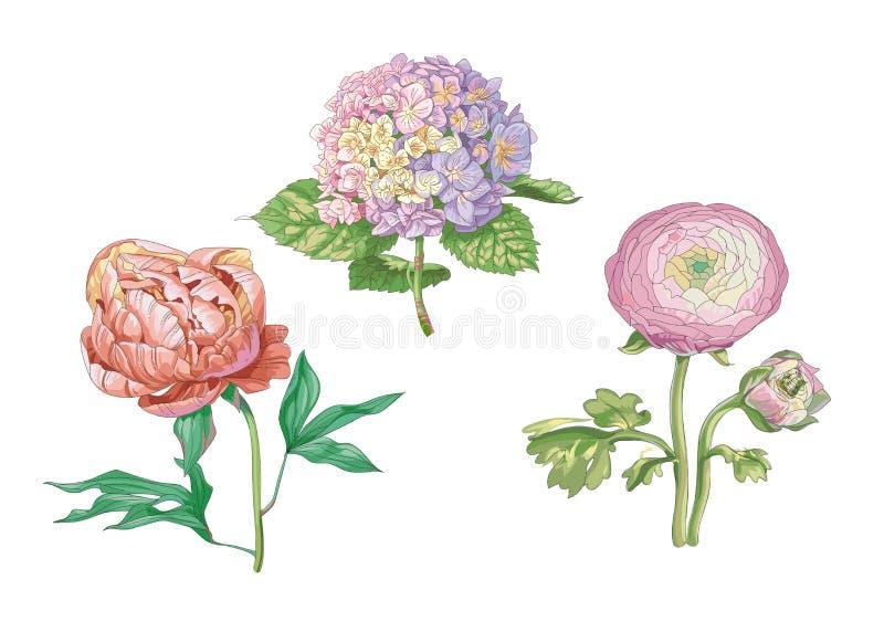 Flores apacibles hermosas aisladas en el fondo blanco Hortensia y peonía Un brote y una inflorescencia grandes en un tronco con e stock de ilustración