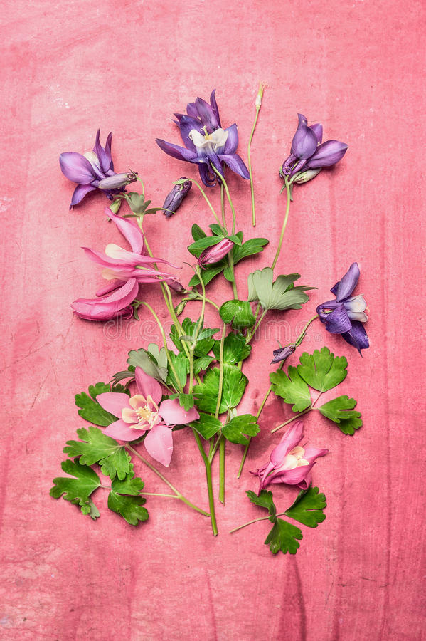 Flores aquilégias coloridas do jardim no fundo chique gasto cor-de-rosa, vista superior que compõe fotografia de stock royalty free