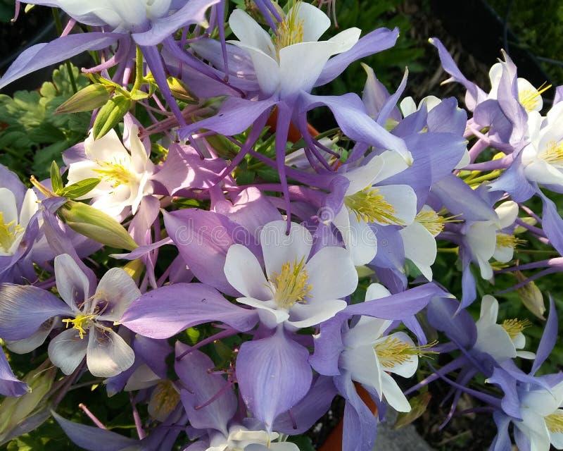 Flores aquilégias no verão 2 imagem de stock