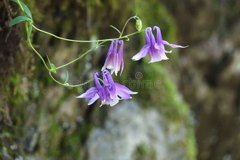Flores aquilégias selvagens fotografia de stock royalty free