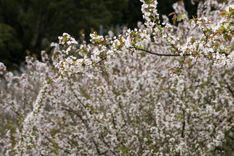 Flores asiáticos de la manzana foto de archivo libre de regalías