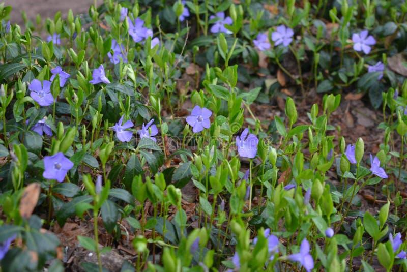 Flores atapetadas constantes da mola, pervincas ucranianas, pervinca com as flores azuis delicadas e as folhas bonitas, verde e f imagens de stock
