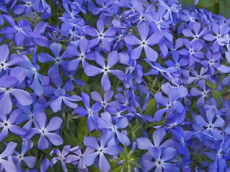 Flores azuis imagem de stock royalty free