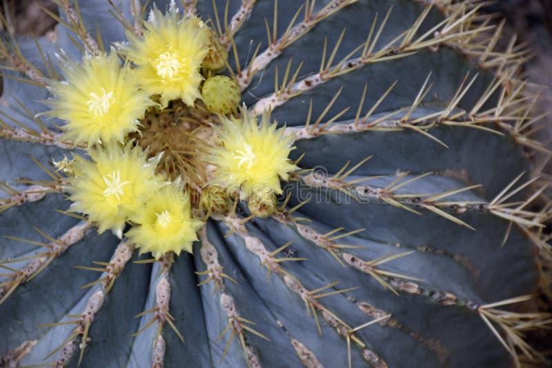 Flores azuis amarelas do cacto de tambor foto de stock royalty free