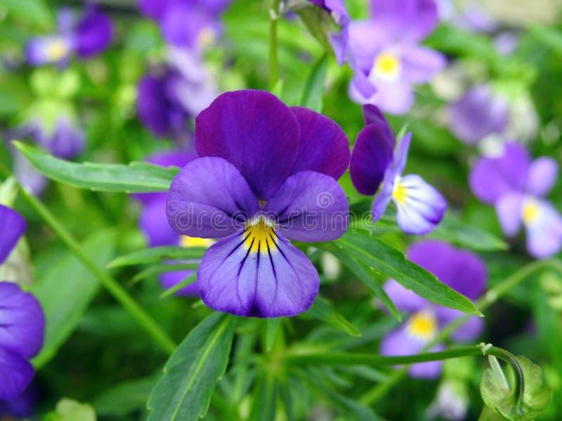 Flores azuis bonitas do amor perfeito no jardim, Lituânia fotos de stock