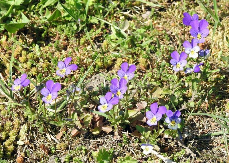 Flores azuis bonitas do amor perfeito selvagem, Lituânia imagens de stock royalty free