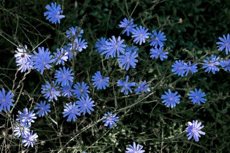 Flores azuis bonitas que crescem no verão em Europa Ap?s um dia chuvoso fotografia de stock