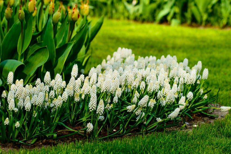 Flores azuis brilhantes bonitas do muscari no jardim imagens de stock royalty free