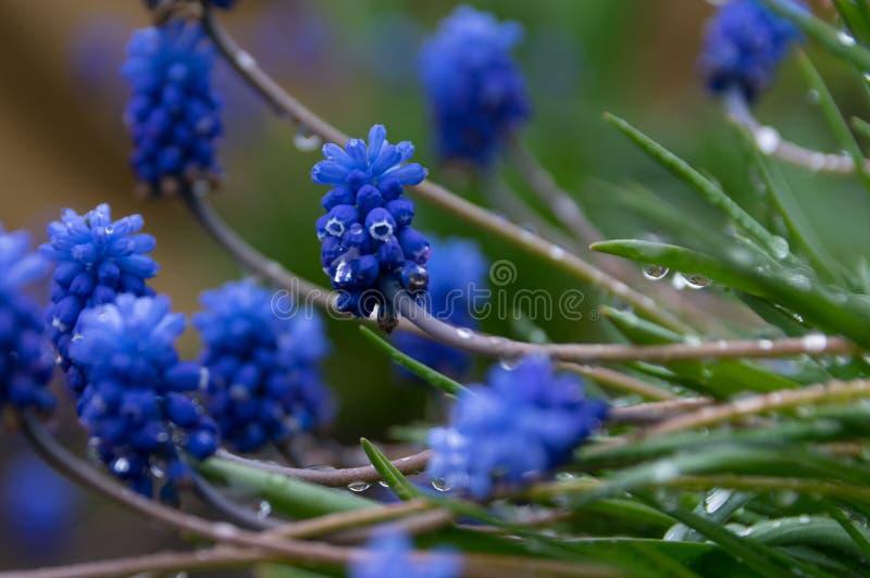 Flores azuis com gotas de orvalho imagens de stock royalty free