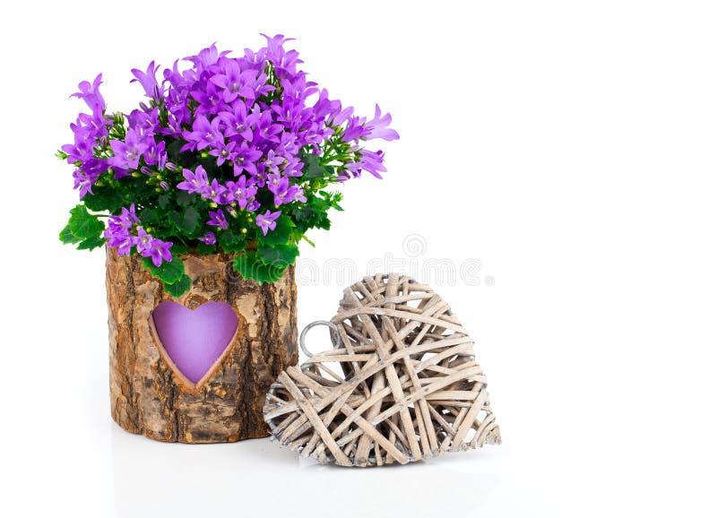 Flores azuis da campânula para o dia de Valentim imagem de stock