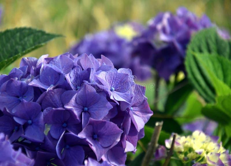 Flores azuis da hortênsia foto de stock